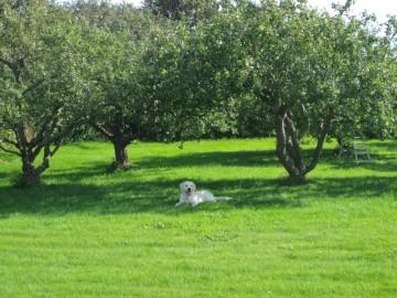 Äpple-1